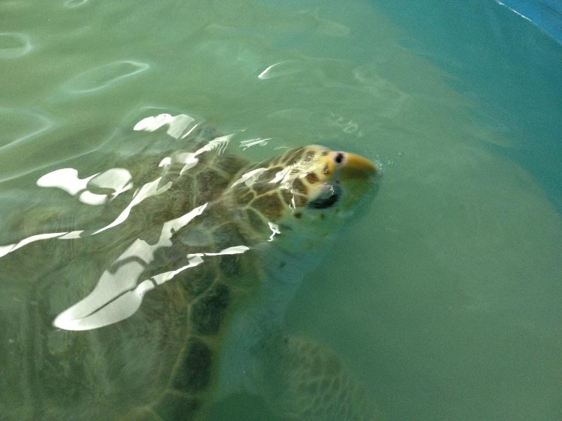 Come and see Savannah, the sea turtle!