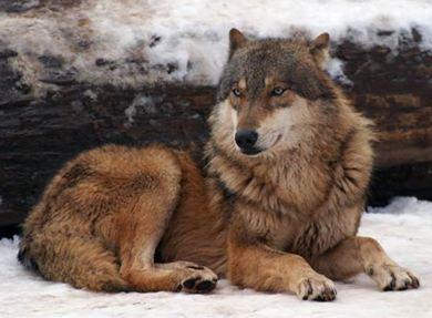 B C Wolves