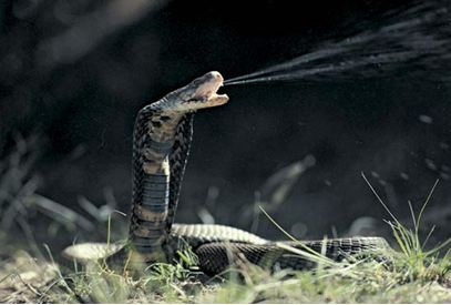 B and W spitting cobra