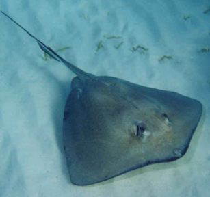 Bat Stingray