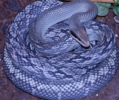 Blue Beauty Snake