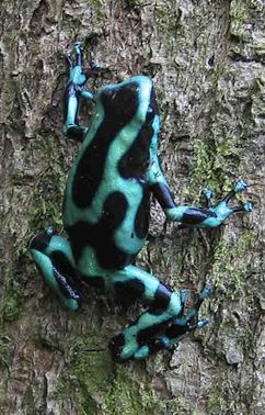 Blue and black dart frog