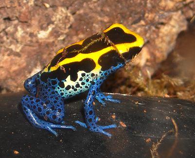 Colbalt dart frog
