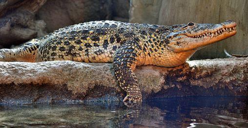 Cuban-Croc