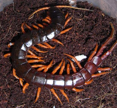 Fire-Centipede