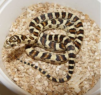 Brooks King Snake - Branson's Wild World