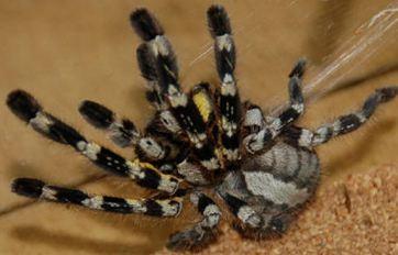 Indian Ornamental Tarantula Branson S Wild World