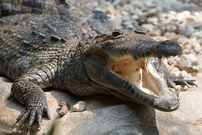 Morelets croc