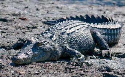 Saltwater-croc