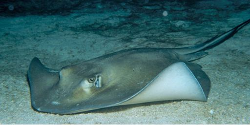 South Atlantic stingray