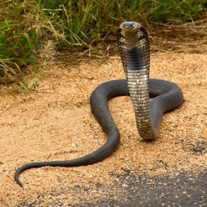 West African Spitting Cobra