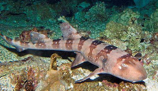 bamboo-shark