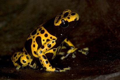 bumblebee dart frog