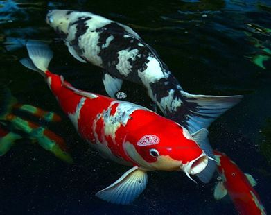 Chinese koi fish cyprinus carpio branson 39 s wild world for Achat de poisson rouge