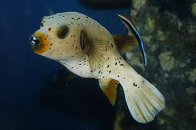 White-spotted puffer Arothron hispidus