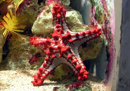 African Red Knob Sea Star
