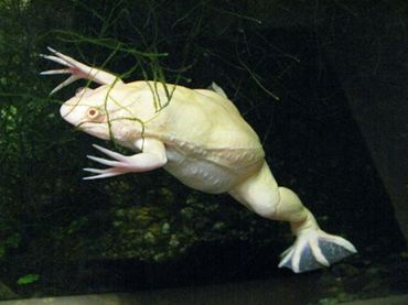 Albino Clawed frog