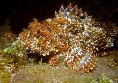 Caribbean Scorpionfish