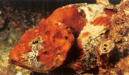 Flasher Scorpion fish