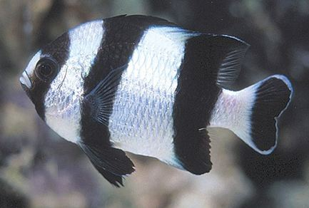 Four Striped Damselfish