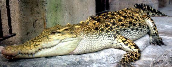 Golden Croc
