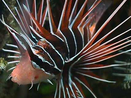 Flagtail Fish Bransons Wild World