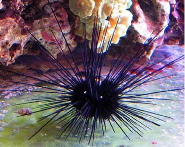 Lone Spined Urchin