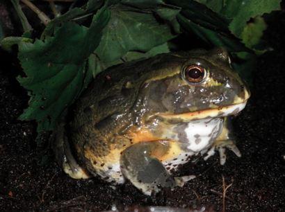 Pixie Frog