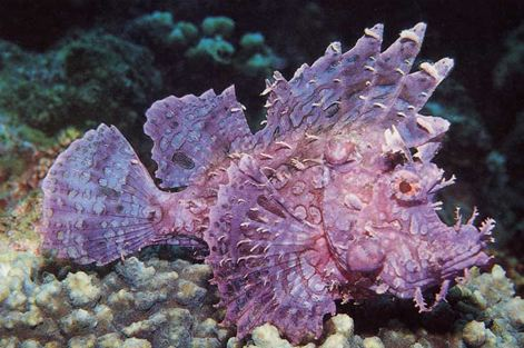 Rhino Scorpion fish