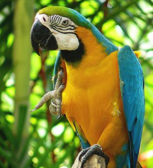 MACAW BLUE AND GOLD