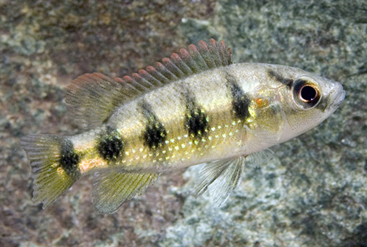 Jeweled Cichlid