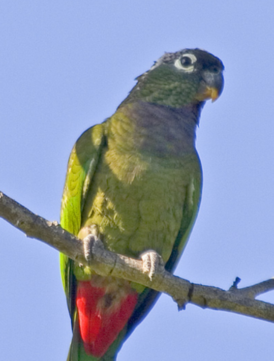 Scaly parrot