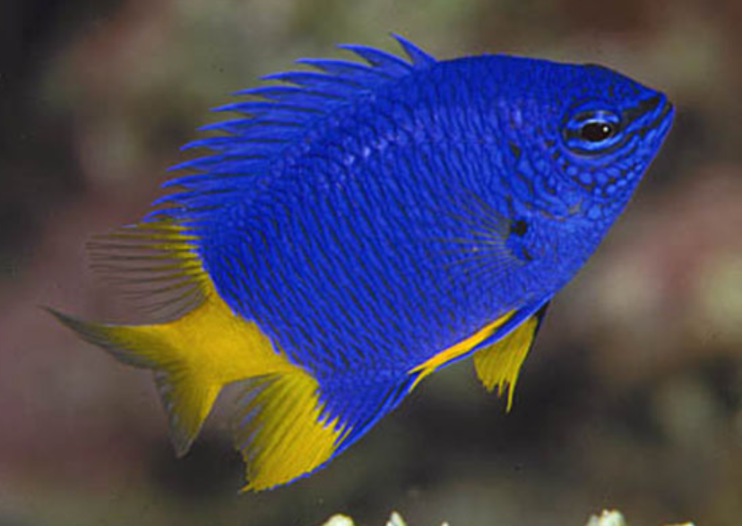 Blue Damselfish Chrysiptera Cyanea Branson S Wild World