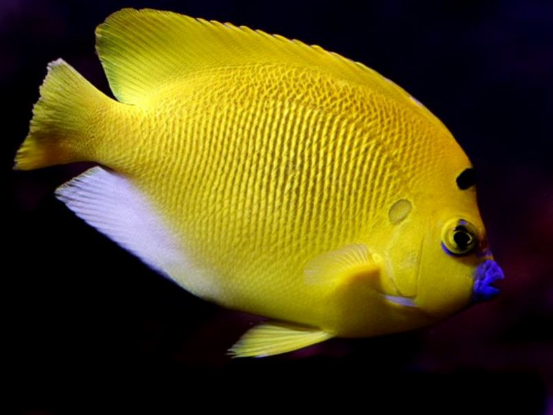 Flagfin Angelfish