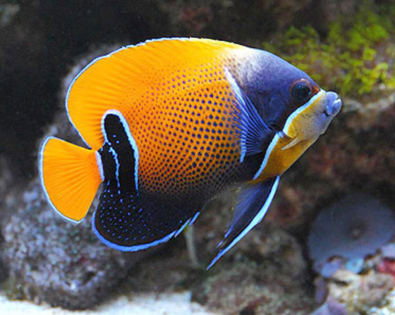 Majestic Angelfish