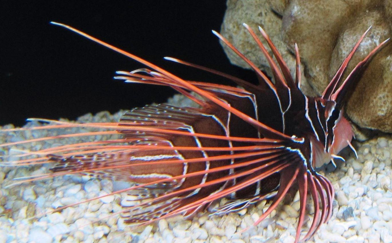 R. Lionfish
