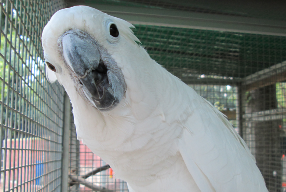 Umbrella Cockatoo - Branson's Wild World