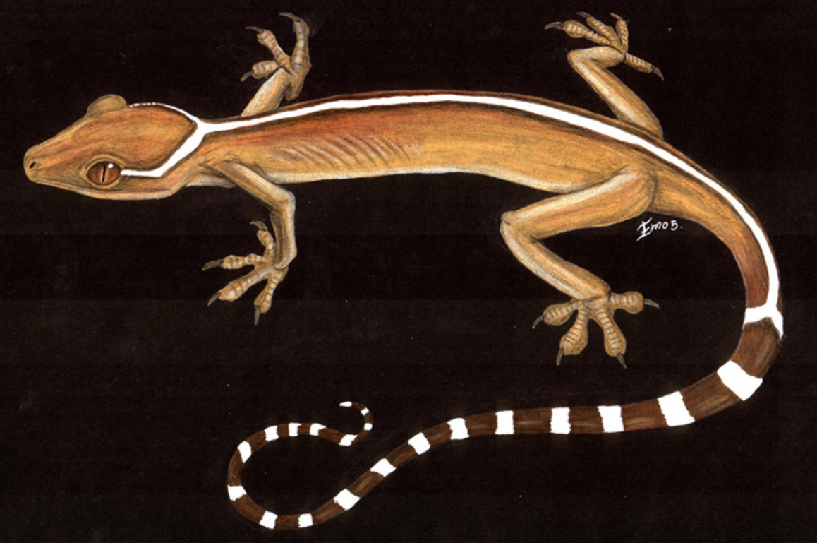 White Lined gecko