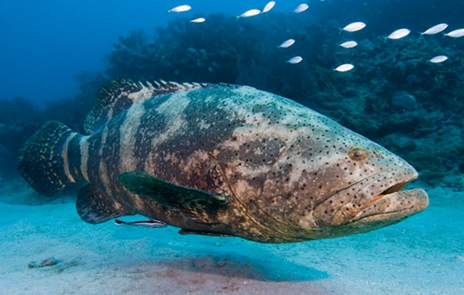 Grouper - Branson's Wild World