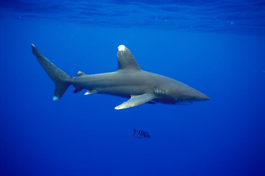 1-oceanic-whitetip-shark-dave-fleetham