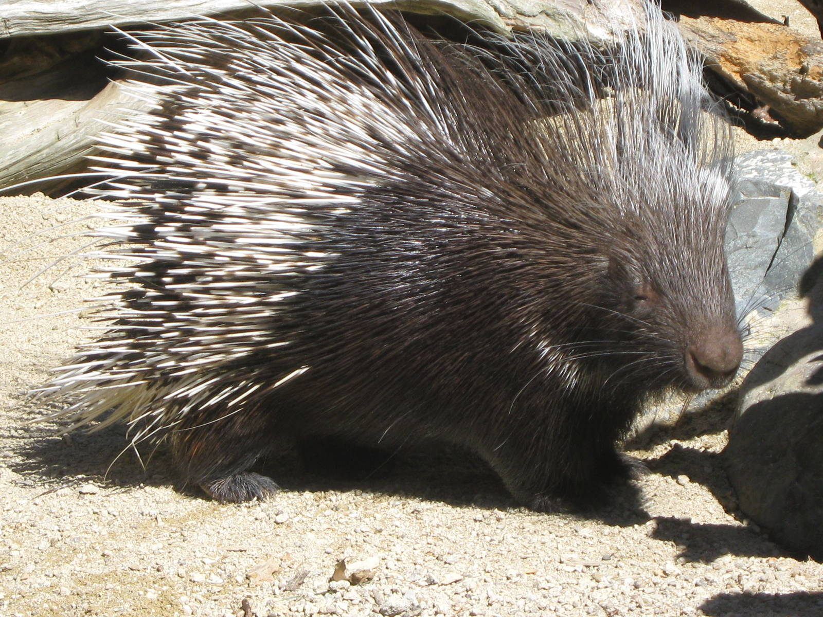 African-Crested-Porcupine1
