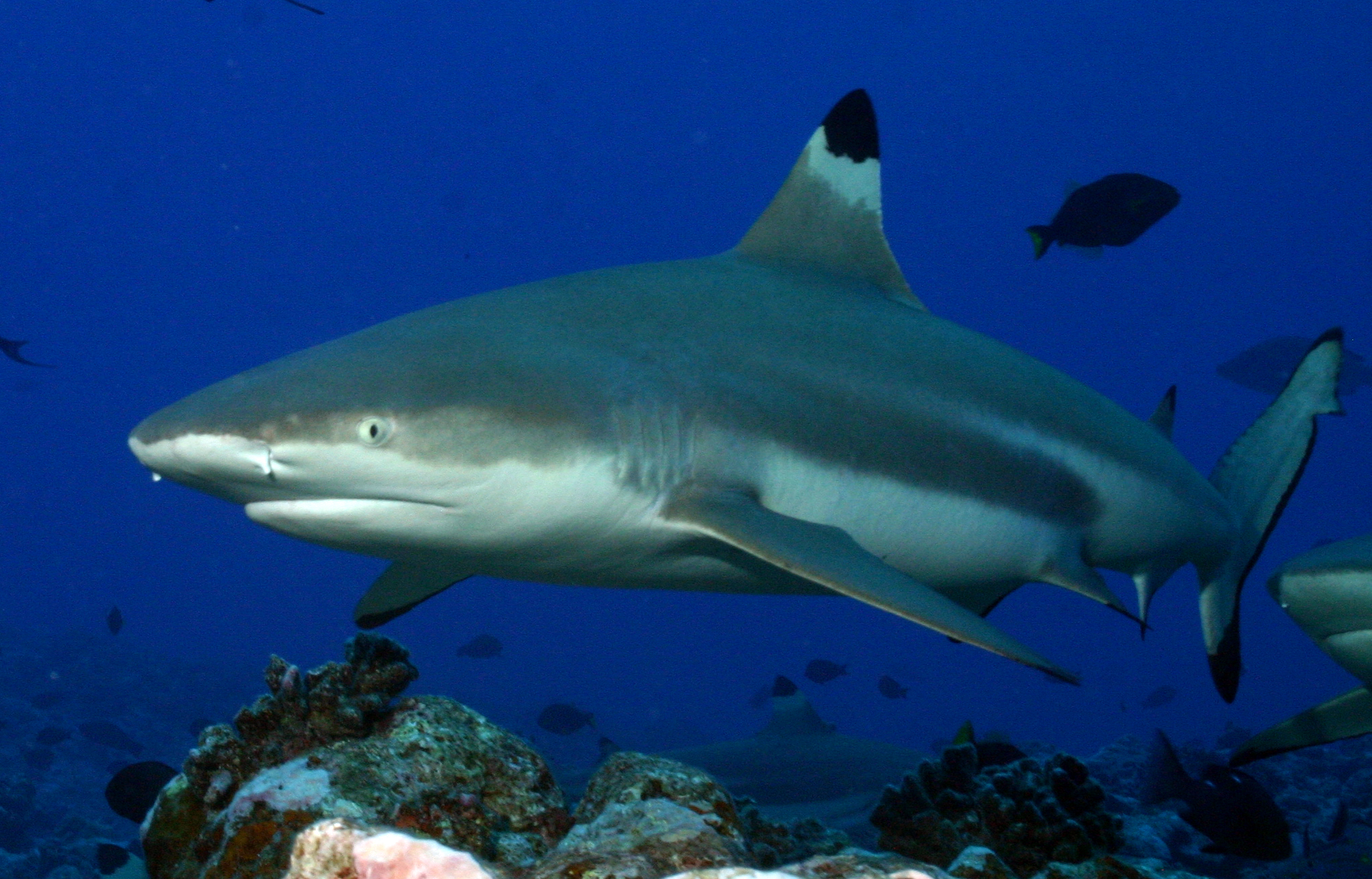 Blacktip Shark - Branson's Wild World