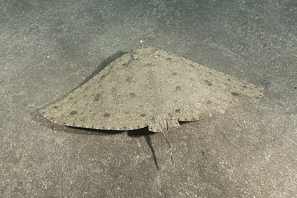 Spiny Butterfly Ray 017