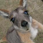 baby-kangaroo-kangaroos-11997154-450-324