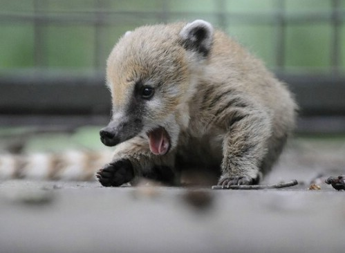 GERMANY-ANIMALS-COATI