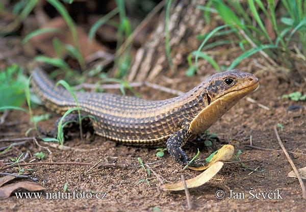 sudan-plated-lizard--xxxjesterkovec