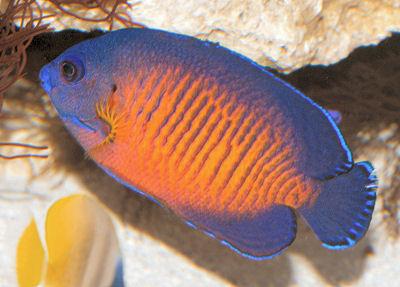 CoralBeautyDuskyAngelfishWMA_C1608