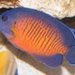 CoralBeauty(Dusky)AngelfishWMA_C1608