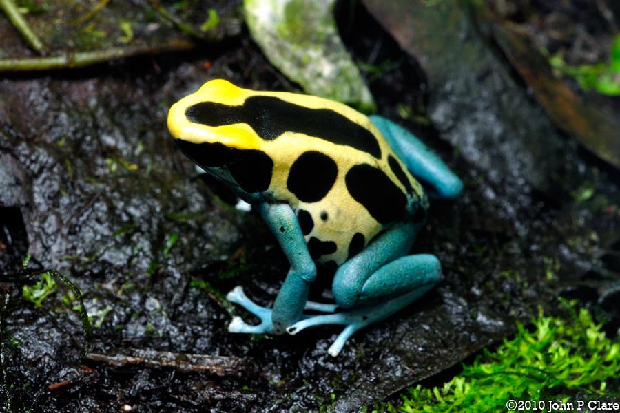 Patricia-frog