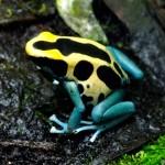 Patricia frog